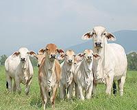 solicitan apoyo ganaderos de Honduras
