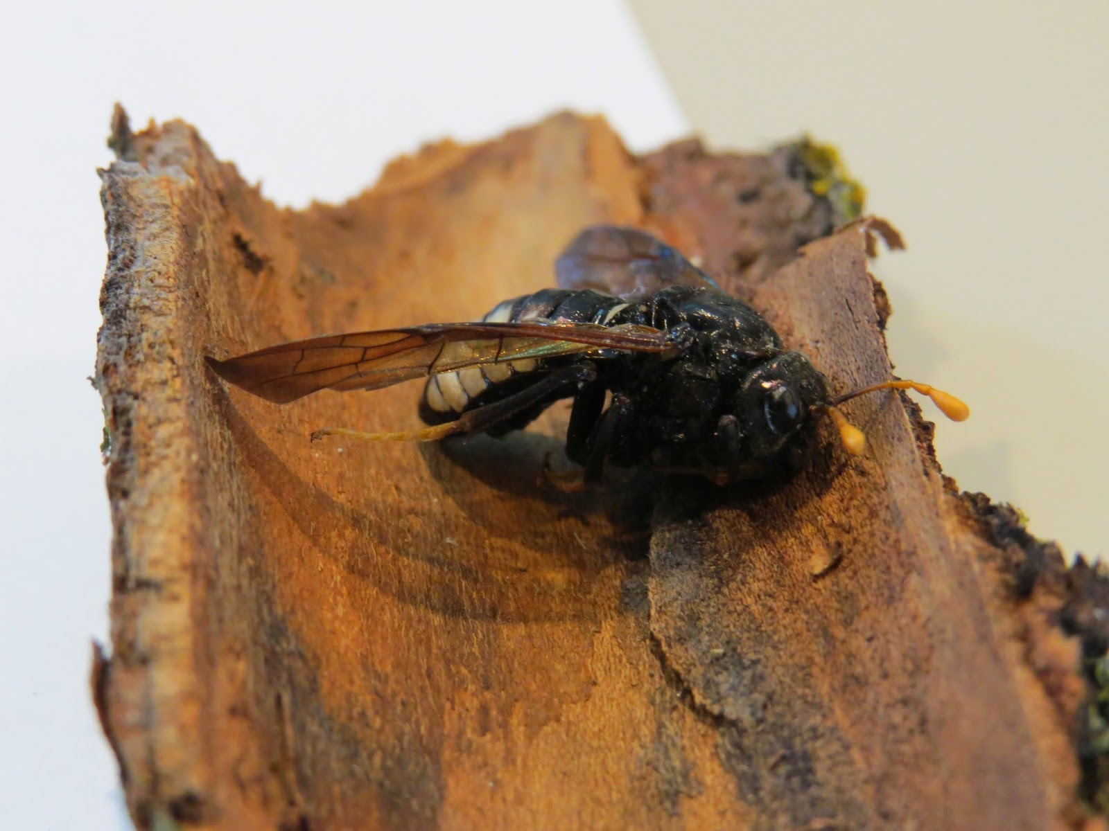 A close up of a North American native bee