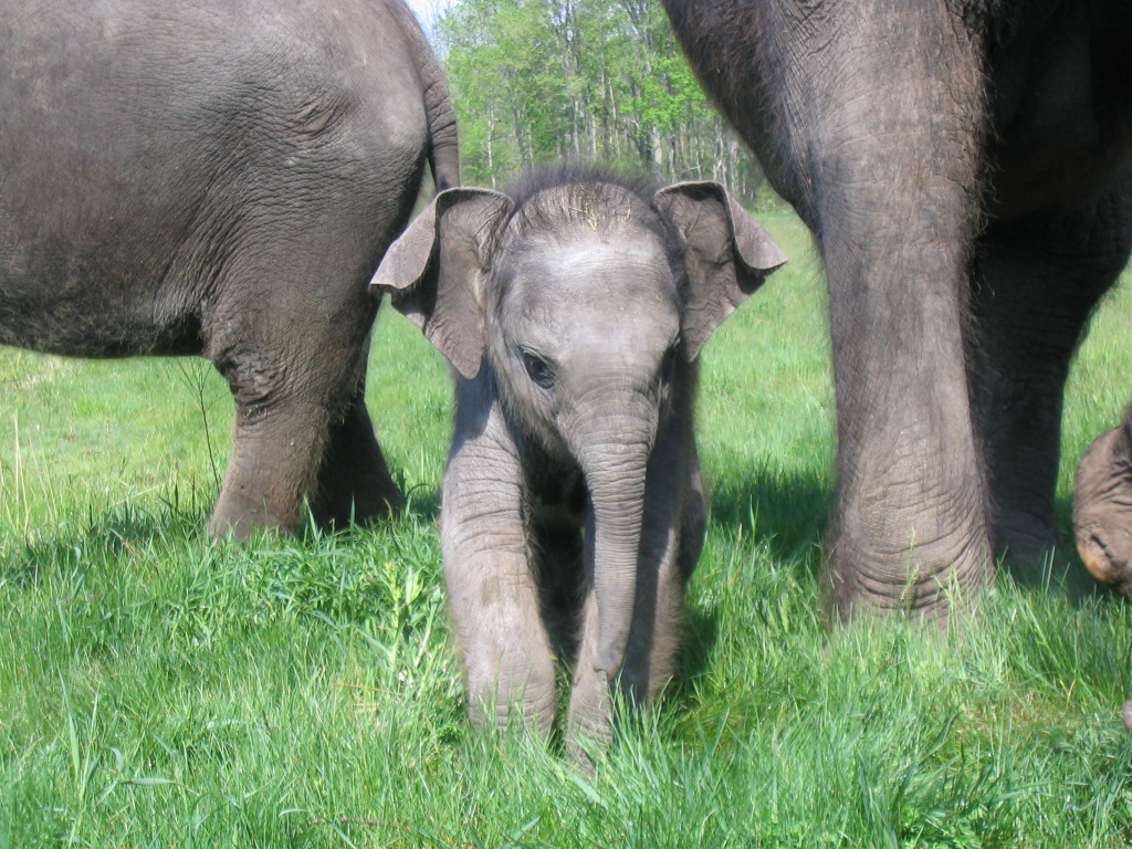 Elephant newborn baby - photo#3