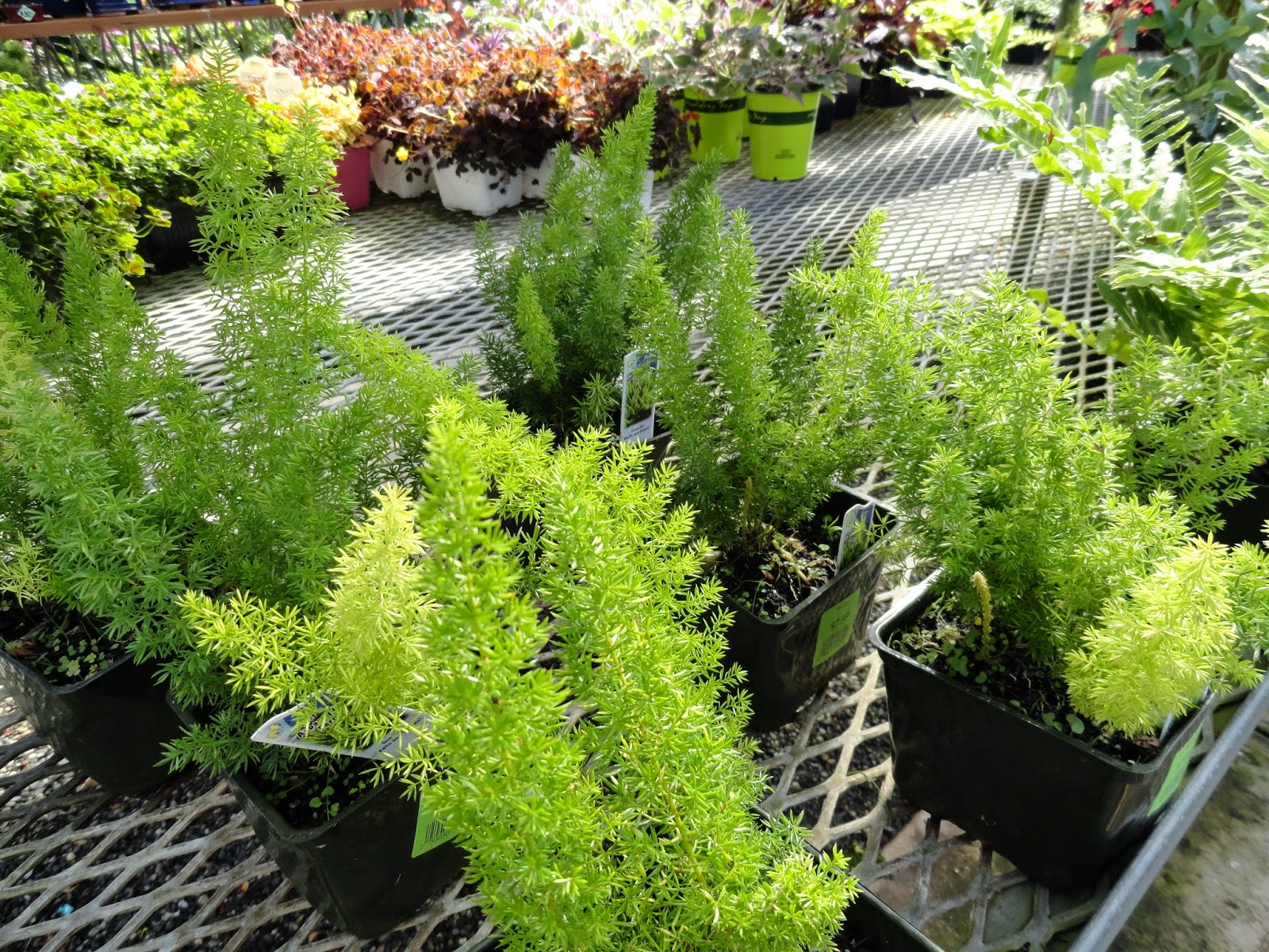 I Wish Saw 4 Asparagus Ferns Available In Portland Area Nurseries D Be More Willing To Experiment With A Few The Ground