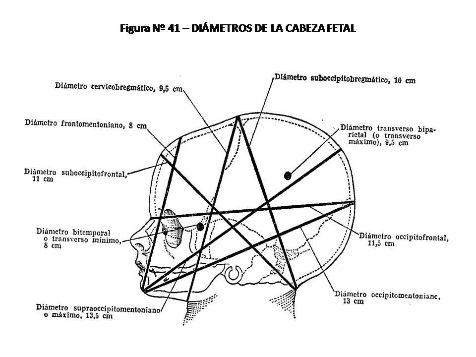 ATLAS DE ANATOMÍA HUMANA: 41. DIÁMETROS DE LA CABEZA FETAL.