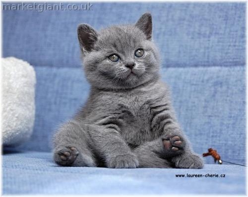 Cute British Shorthair Kittens