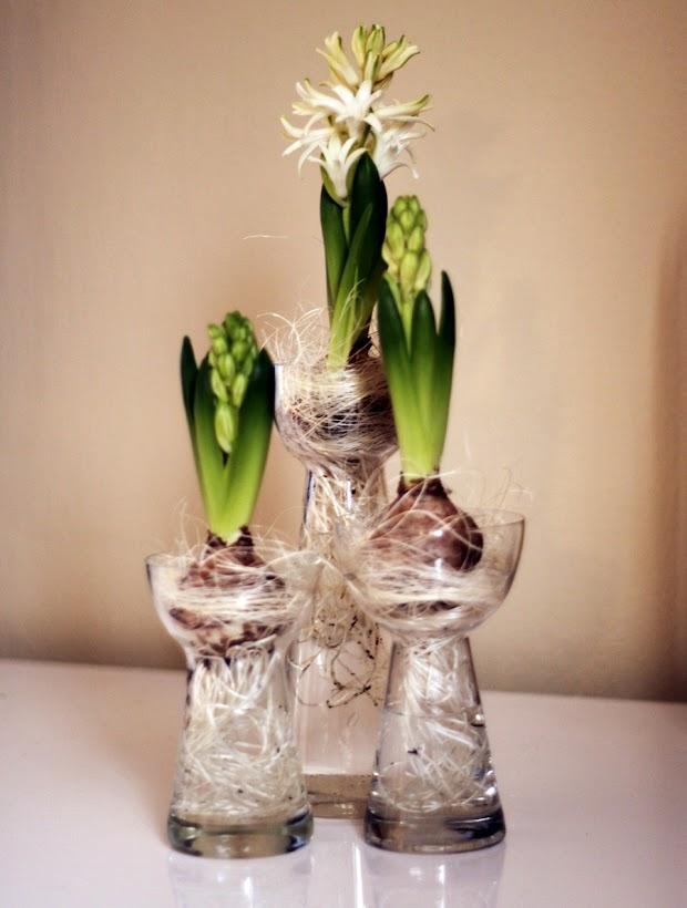 hyacinter i vas