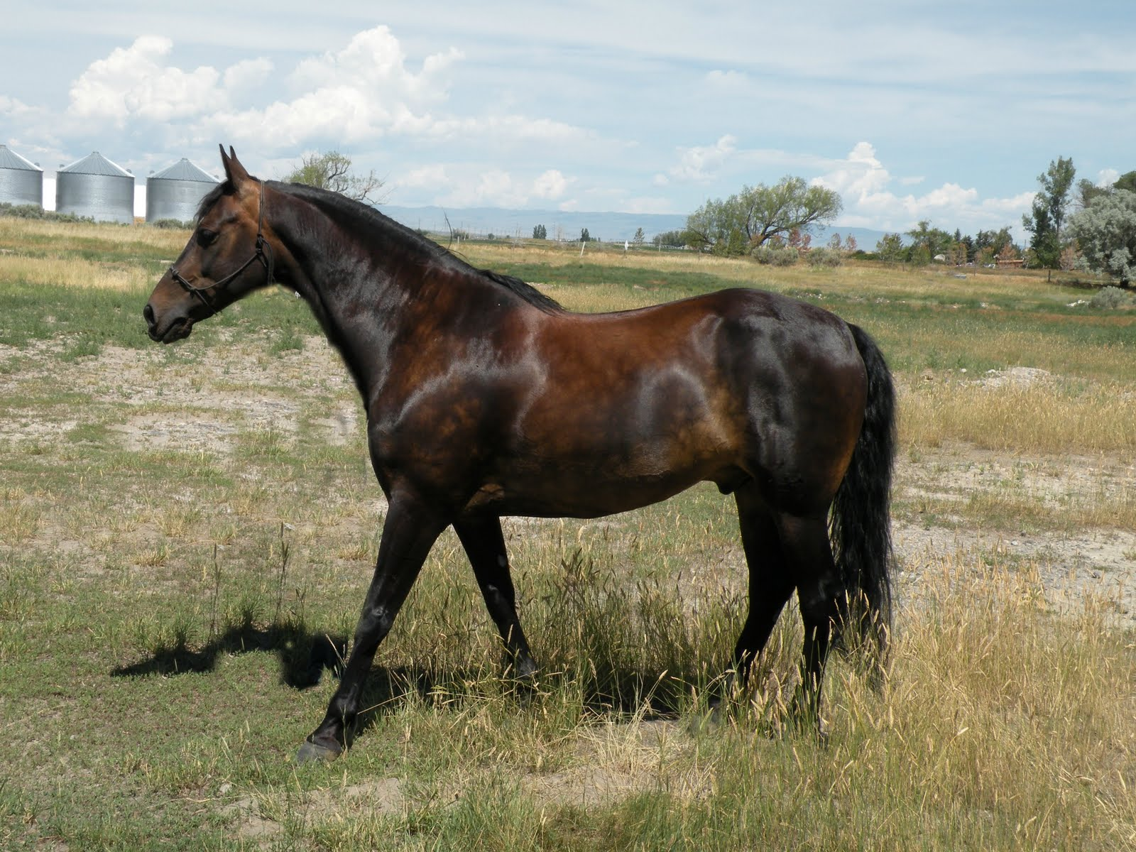 brown horse with black - photo #31