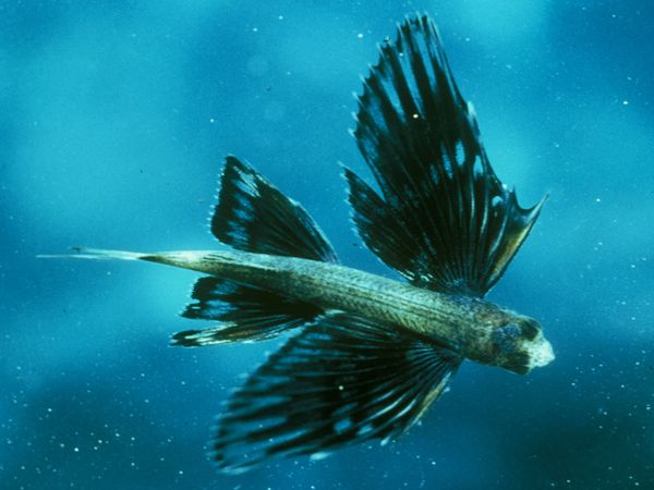 Cool sea creatures amazing wallpapers for Where do flying fish live