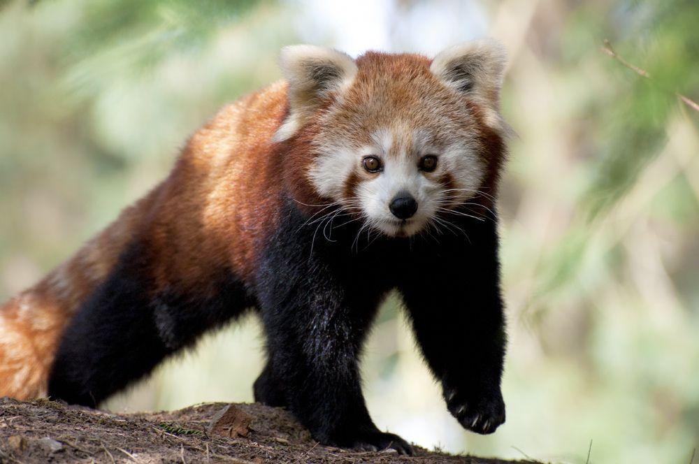 20. Red Panda