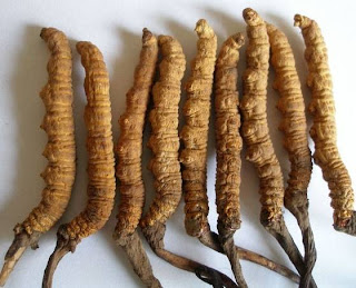 Cordyceps sinensis mushroom has medicinal properties nourish the body
