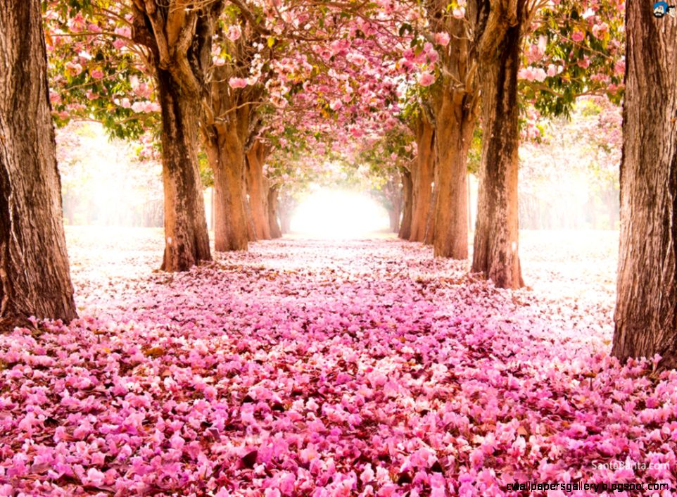 HDQ Beautiful Cherry Blossom Images  Wallpapers Gallery Images 40