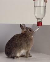 Air minum pada kelinci