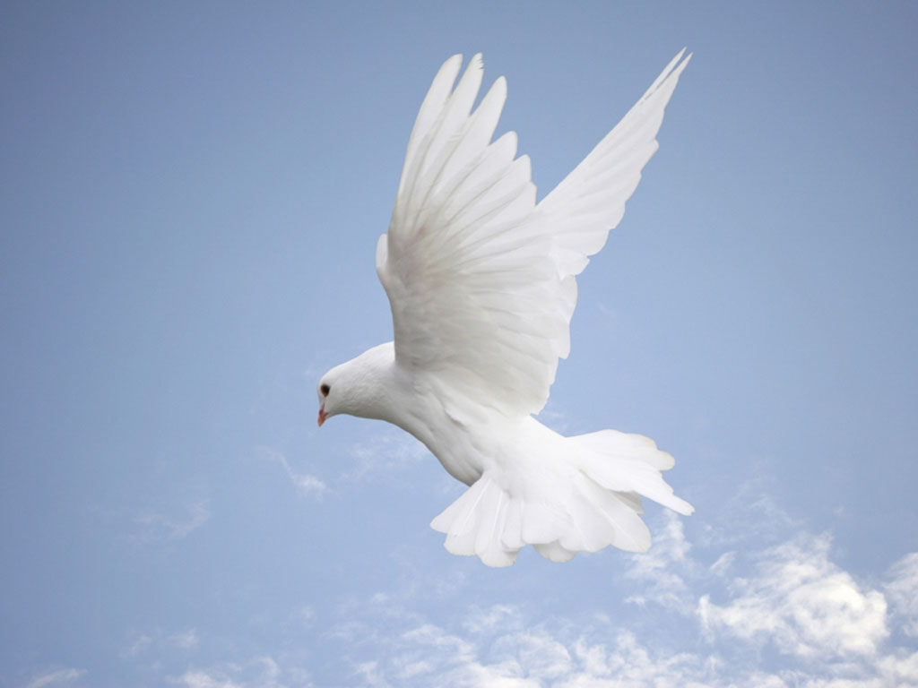 wallpaper white dove wallpapers