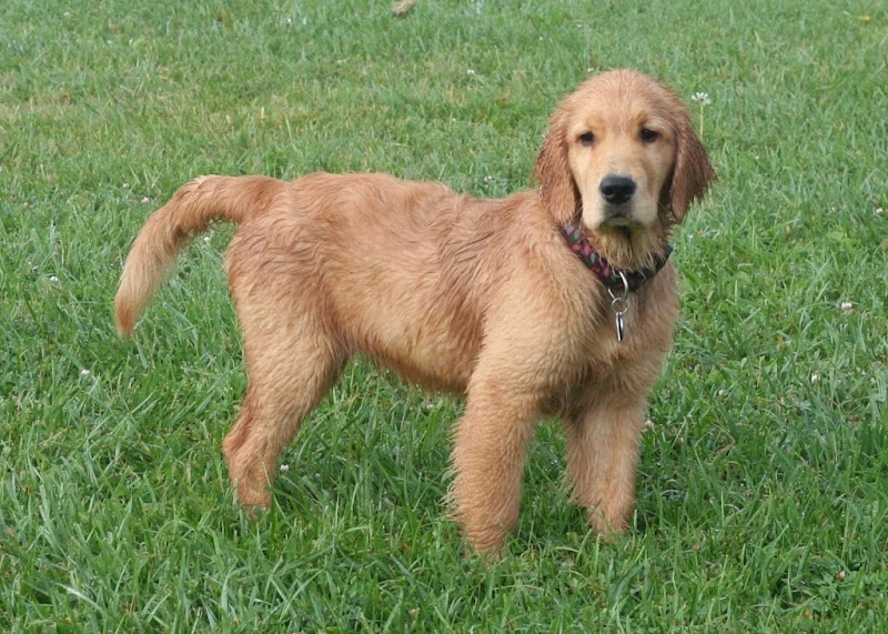 standing pose of golden puppy, with her long fur slightly damp, she has a doleful expression on her face