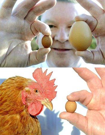 telur ayam, paling kecil, di dunia, unik