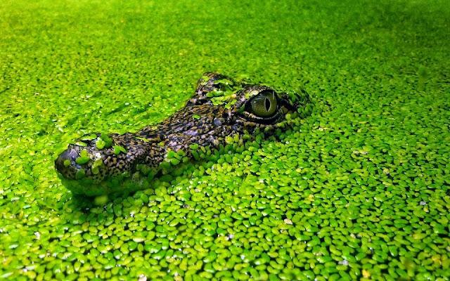 Alligator in Amazon