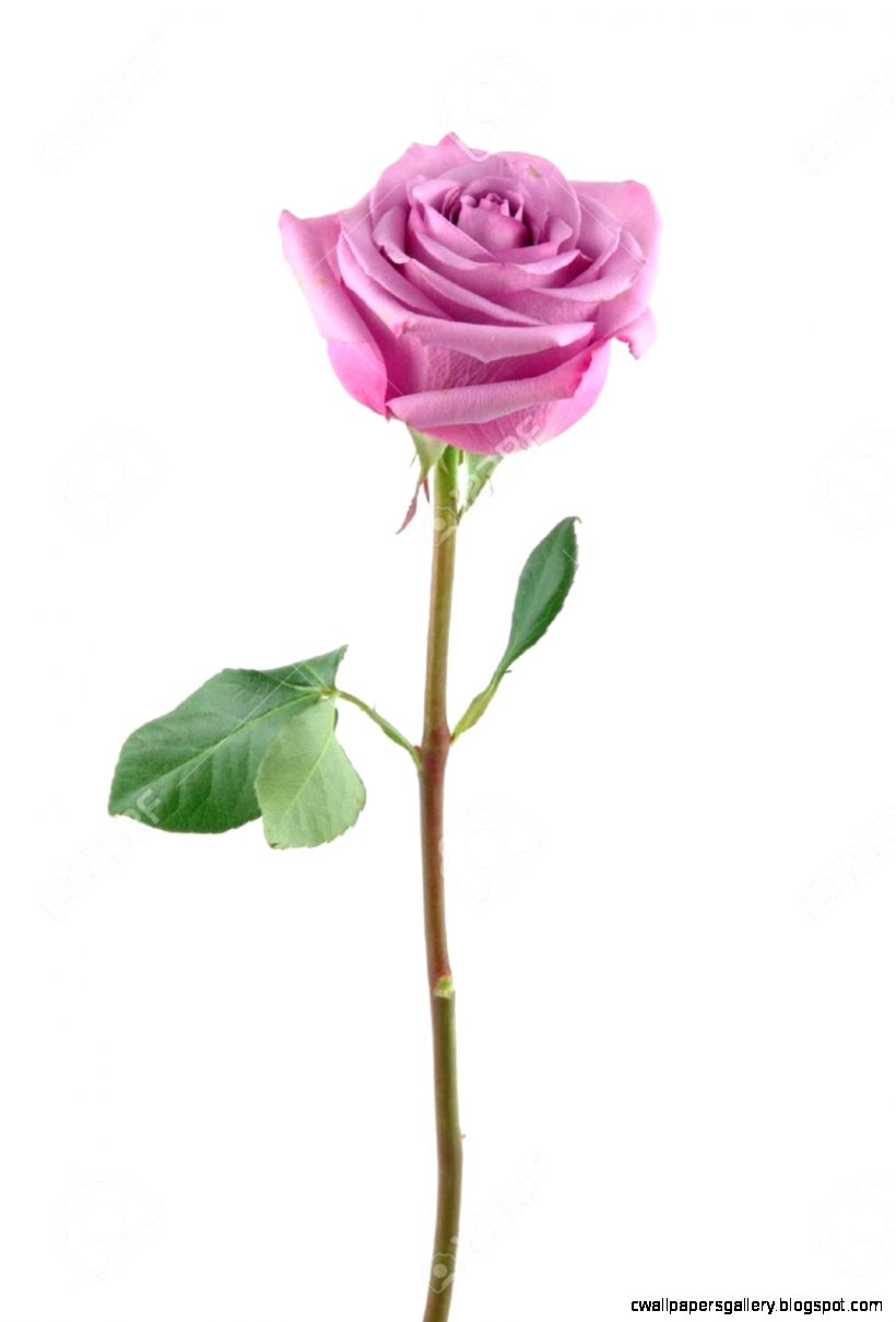Purple Rose In Isolated White Stock Photo Picture And Royalty