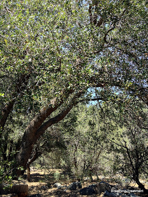 Quercus chrysolepis (Canyon Oak, Maul Oak, Goldcup Oak, Gold cup Live Oak, canyon live oak, gold cup oak)