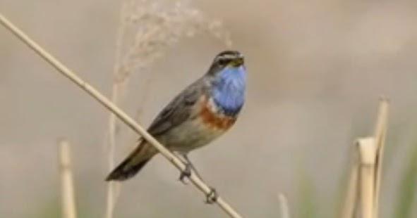 kemerduan suara burung bluethroat berkicau gembala news