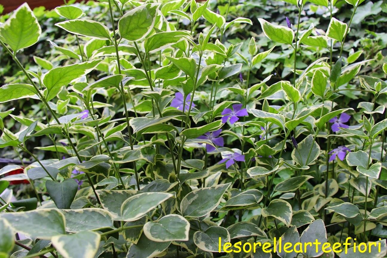 Lesorellearteefiori vinca o pervinca for Pervinca pianta