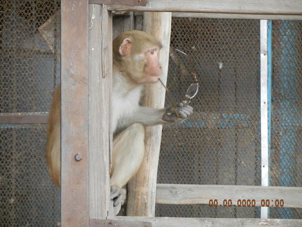 Image result for Vrindavan Mathura monkeys