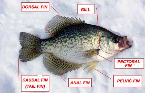 Bluegill Anatomy Diagrams - Online Schematic Diagram •