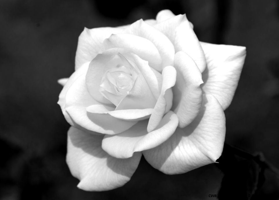 Black and white rose  roses  Pinterest  White Roses Black And