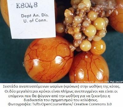http://3.bp.blogspot.com/-vSS5iTQUc3A/VC6RF7DQE6I/AAAAAAAAAEY/tUWto4j8EW4/s1600/eggs-hen-ovary-2.jpg