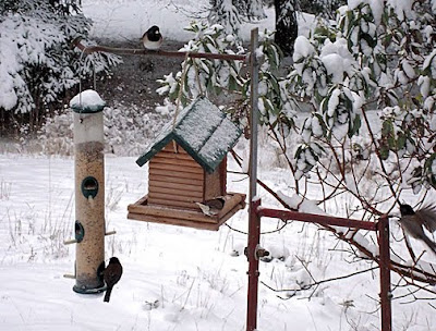 black-capped chickadees at feeders