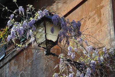 wisteria street lamp glicine roma rome