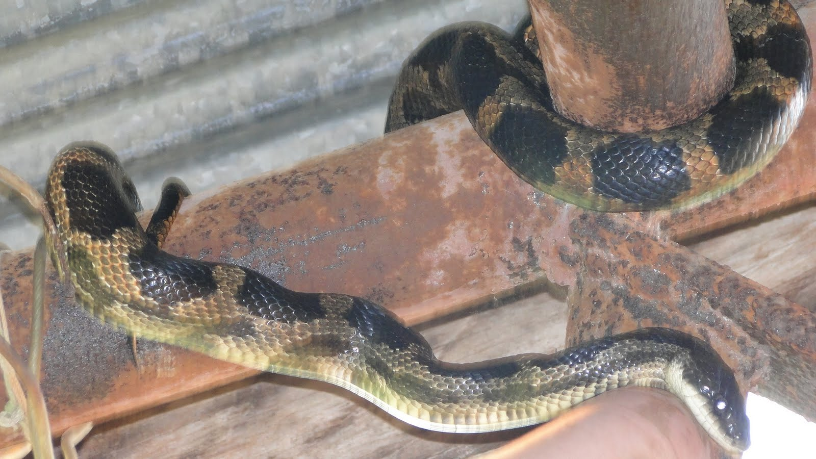 Snake Pictures in Louisiana | HubPages
