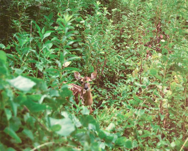 deer, fawn