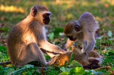 Vervet-Monkey-Kruger-Park