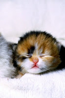 Cat Pet Wallpaper