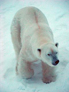 Oso Polar - Ursus maritimus