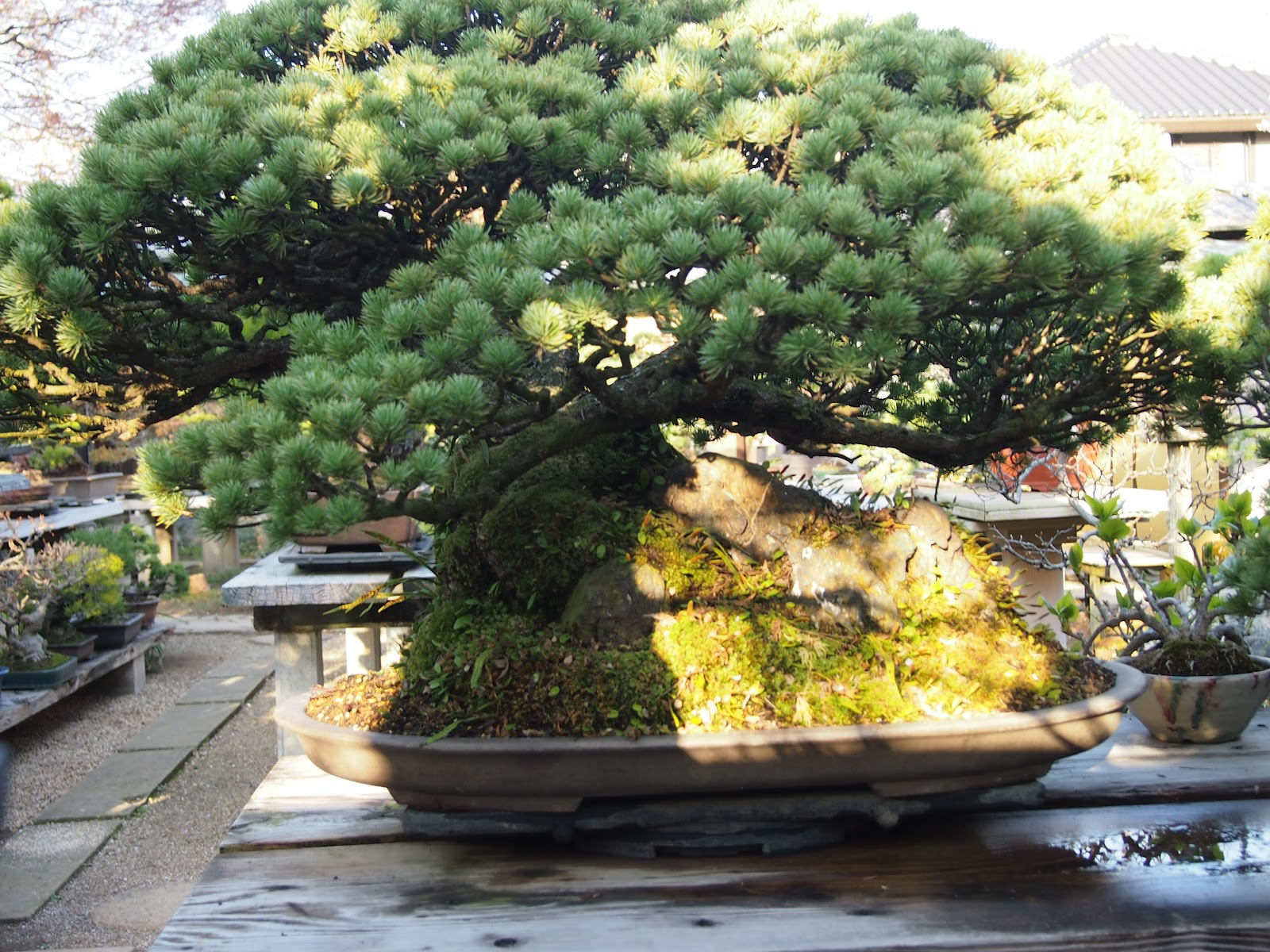 The Lime Walk MAGNIFICENT BONSAI IN JAPAN