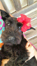 Sophie the Schnauzer from Durban