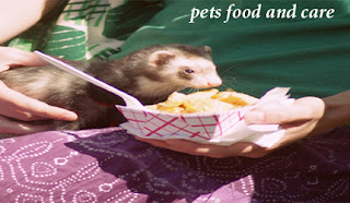 ferret eating duck soup