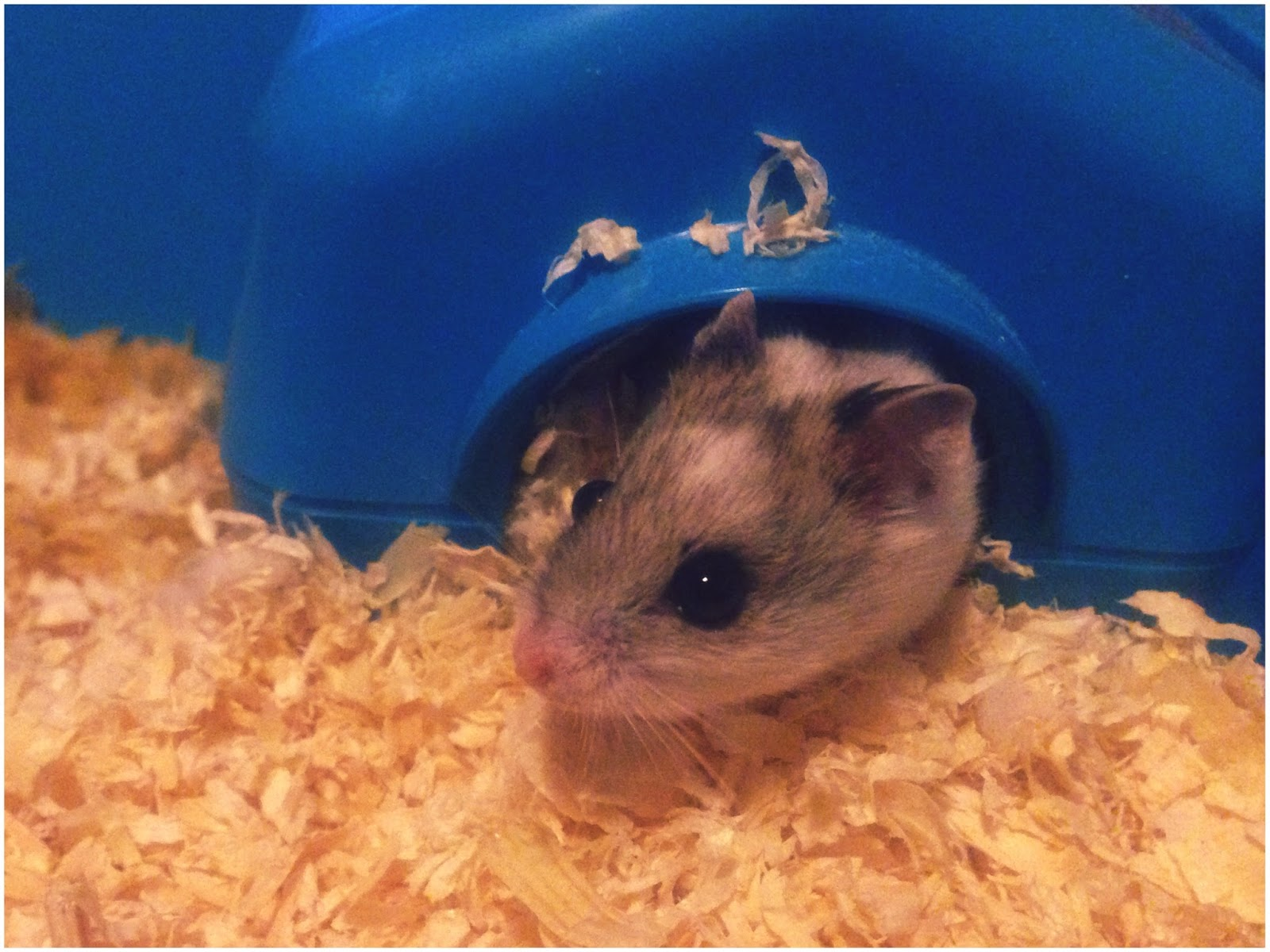 chinese dwarf hamster, pets at home, parent blogger, animals, pets, hamster, rodent, childrens photography, mini photographer, through my childs eyes,