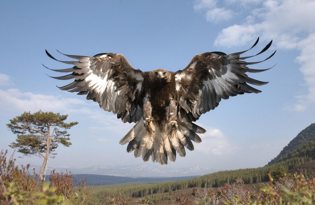 golden eagle wing