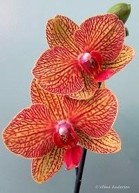 Orange Phalaenopsis flower