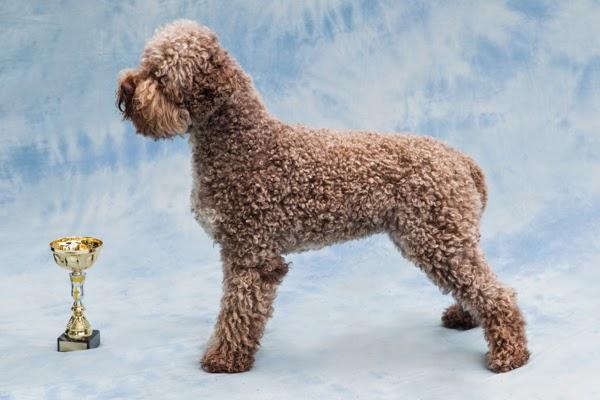Palkittu koira ja pokaali Spanieliliiton 50v juhlanäyttelyssä Doukas Arts kuvaamana
