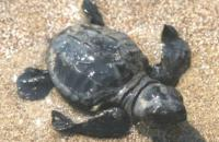 Οι θαλάσσιες χελώνες στις παραλίες της Μεσσηνίας