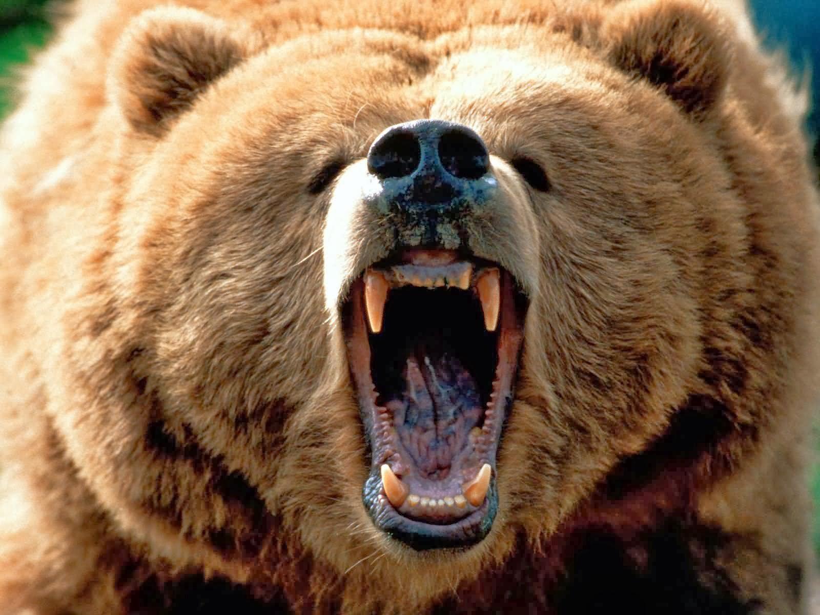 Animals, Wallpapers, ΕΙΚΟΝΕΣ ΦΟΝΤΟΥ, Grizzly Bears, Bear,