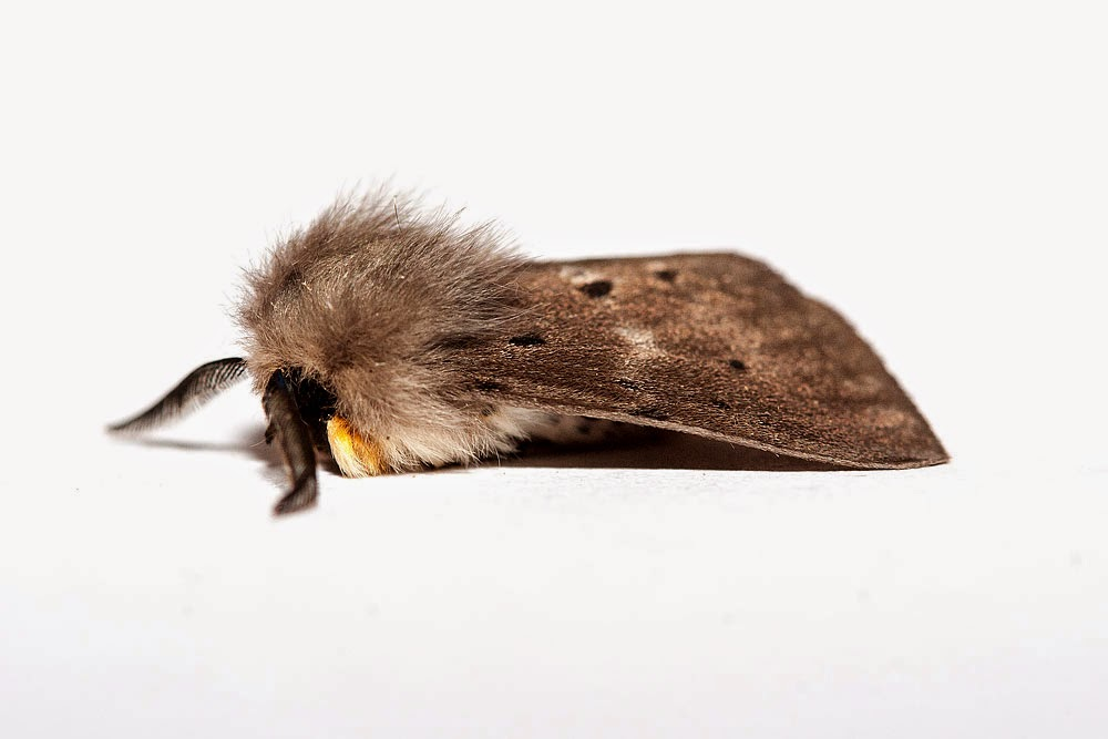 Muslin Moth (side on) - Milton Keynes