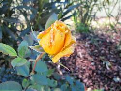 December rosebud 2014