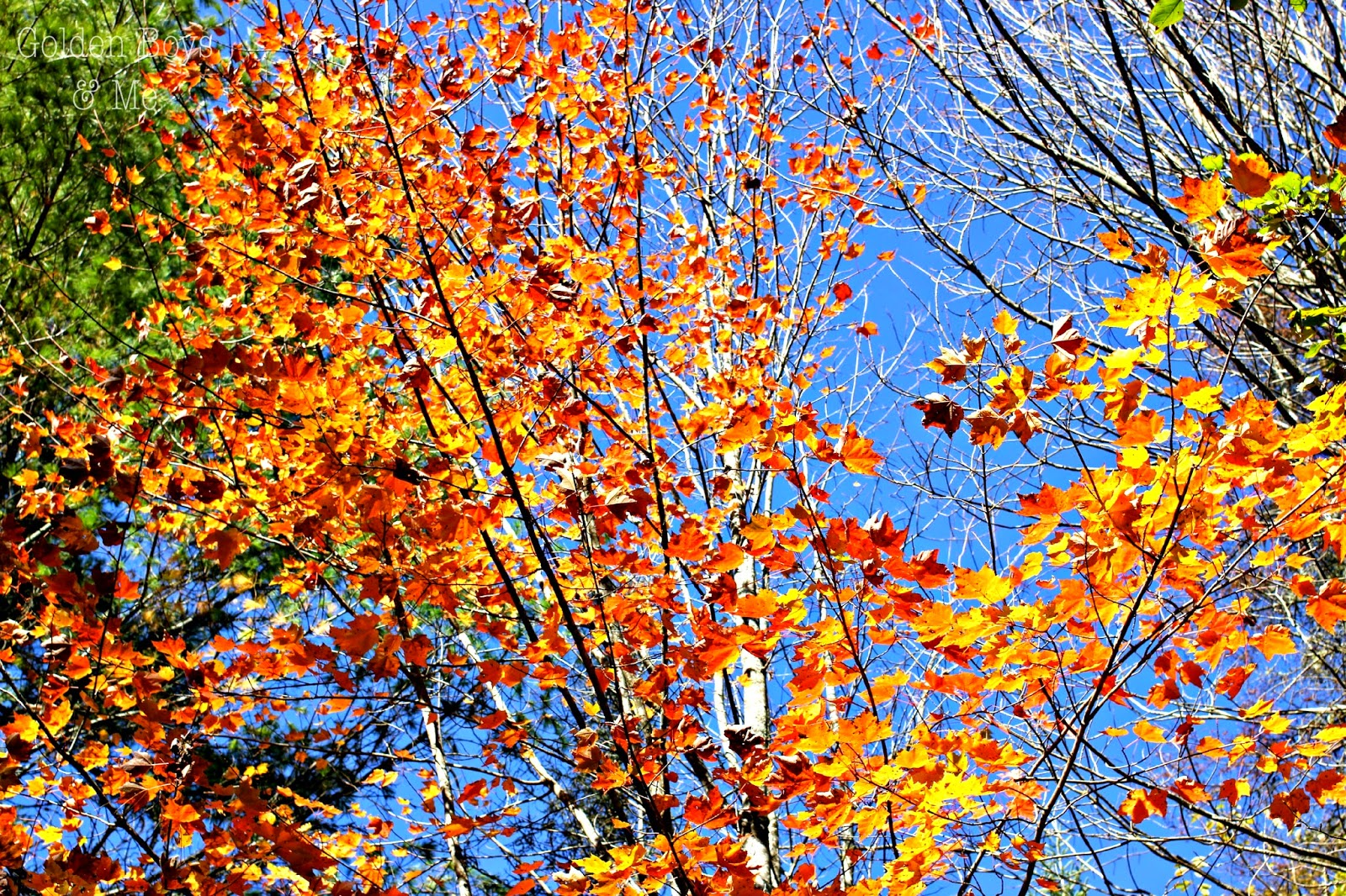Orange fall leaves with blue sky-www.goldenboysandme.com
