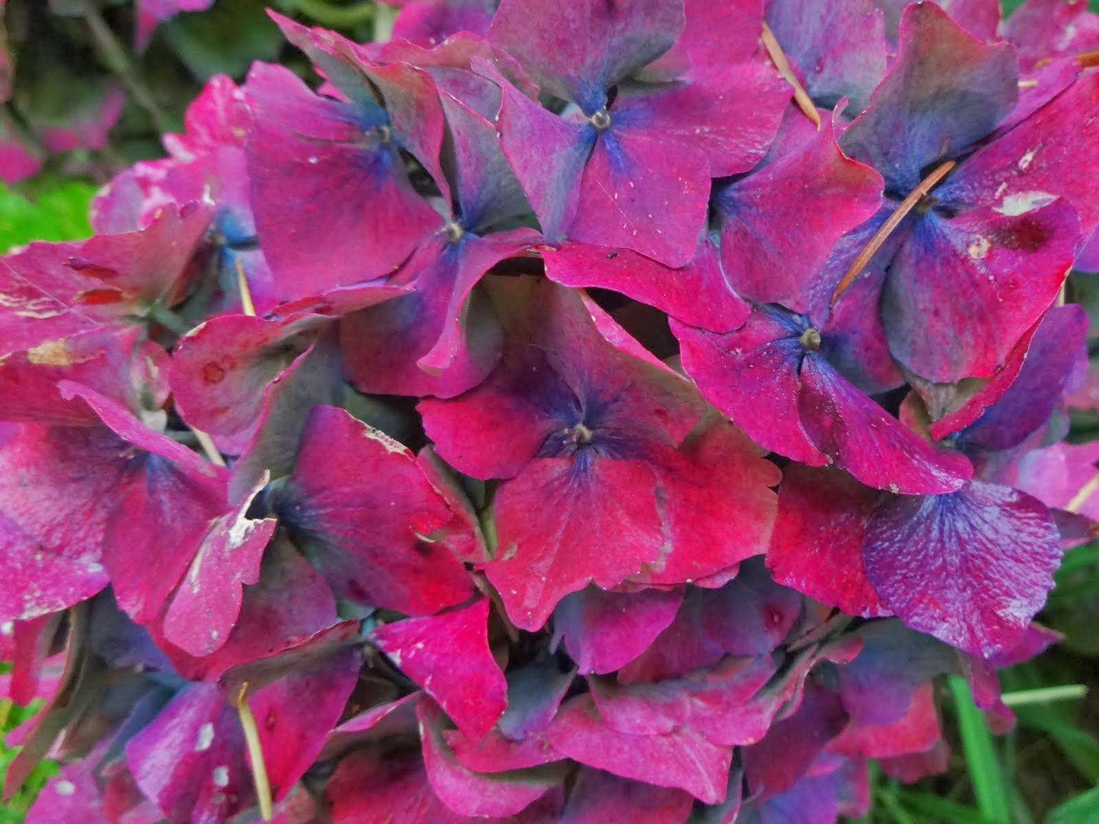 Hydrangea in Mid-Fall Color