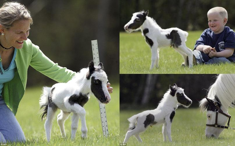 Einstein the smallest horse in the world - photo#8