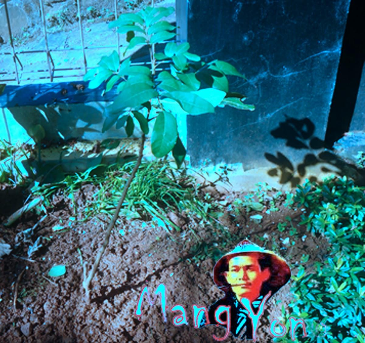 Cara menanam Pohon Cangkok Lengkeng di Alam terbuka ala Mang Yono.