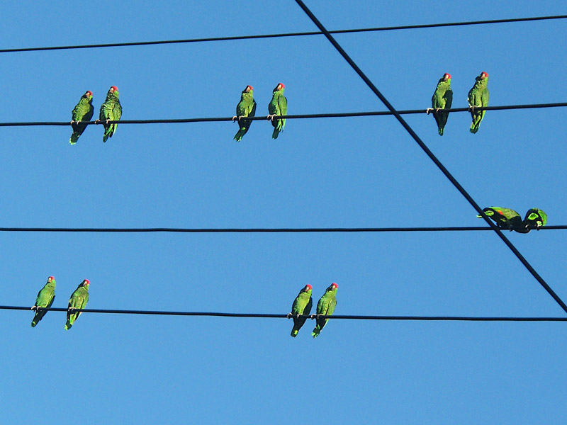 pairs of wild parrots on wires in Pasadena CA - (c) David Ocker