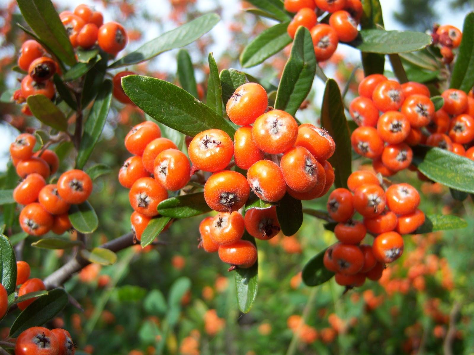 Arbustos con bayas rojas bot nic serrat for Arbustos con flores