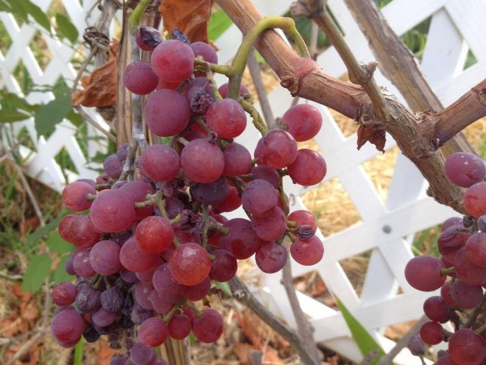 Propagating grapevines